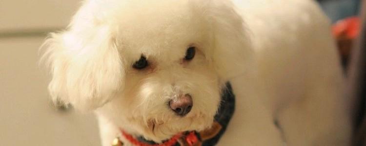 狗狗肚子长白色的痘痘