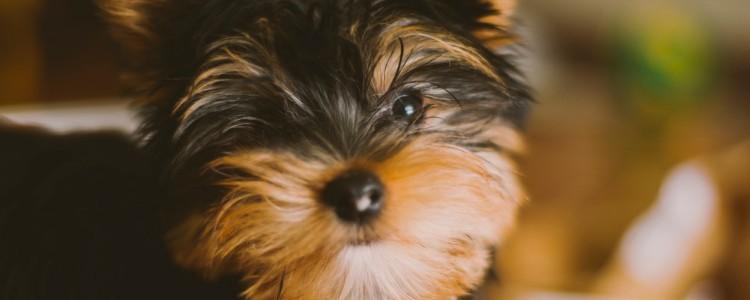 狗狗怀孕全身发抖怎么回事