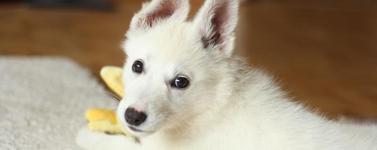 狗狗耳朵里有耳螨怎么办
