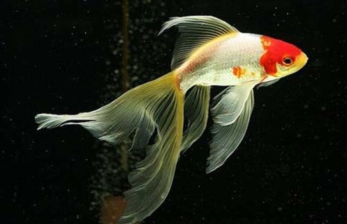 怎样养金鱼的基础知识
