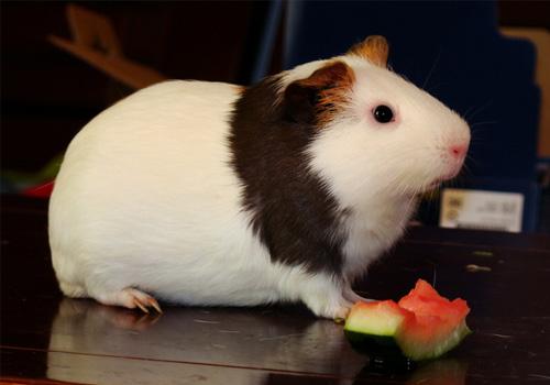 荷兰猪能吃什么蔬菜和水果