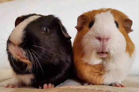 荷兰猪多大能繁殖