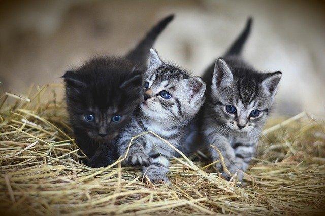 40天的幼猫怎么分辨长毛短毛