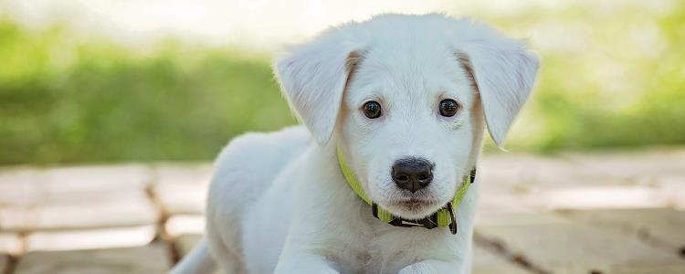 狗狗身上的蜱虫是怎么来的