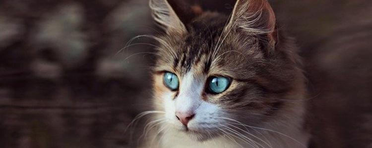 干性猫传腹初期症状