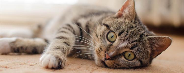 怀孕的猫咪能吃猫薄荷吗
