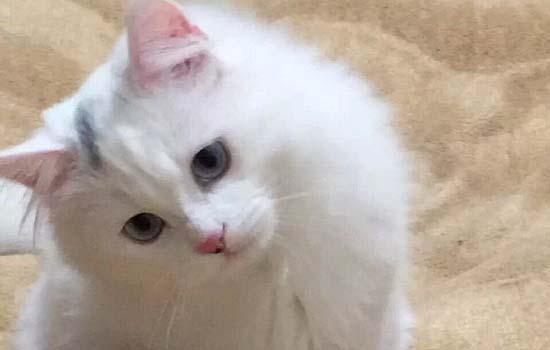 猫咪传腹初期症状羊屎