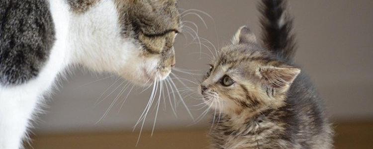 母猫怀孕有什么症状