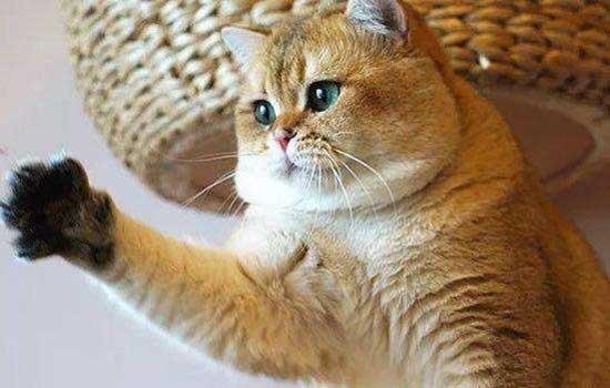 猫倒地抽搐自己又好了