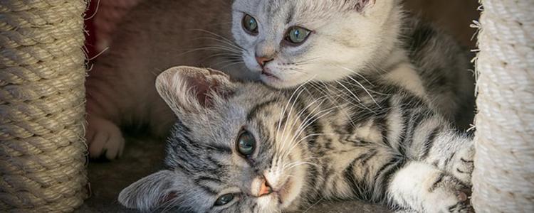 美短公猫几个月做绝育