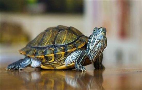 乌龟烂尾巴怎么治疗