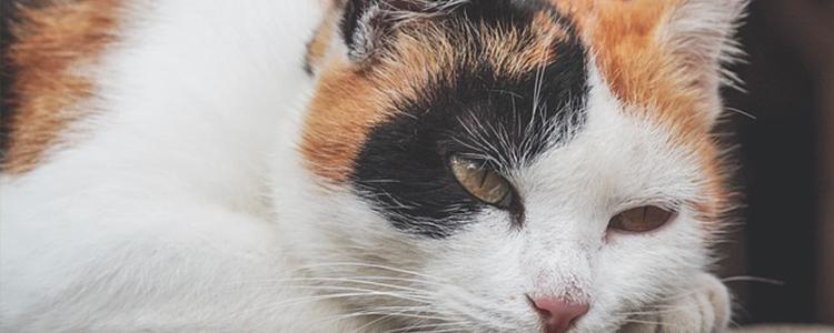 猫呕吐吃什么药见效