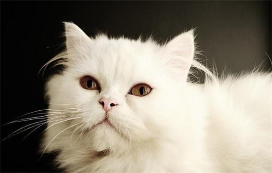 加菲猫和波斯猫长相区别
