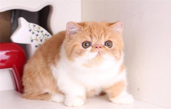加菲猫属于英短吗