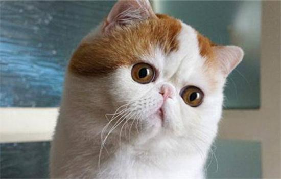 加菲猫缺点和优点