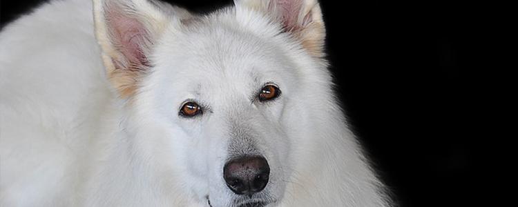 雄性狗狗做绝育的利弊