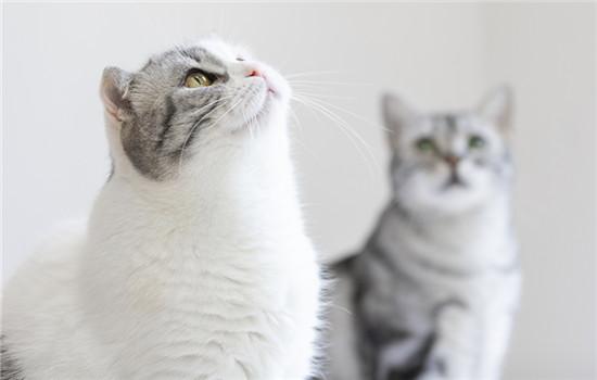 猫传腹前期明显症状 猫传腹前期最明显的症状