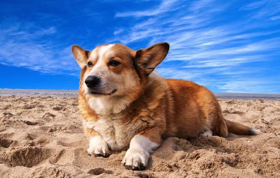狗的后腿站不起来怎么回事