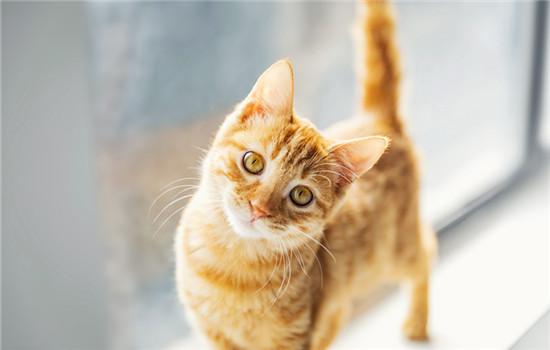猫咪长脓包型的疙瘩