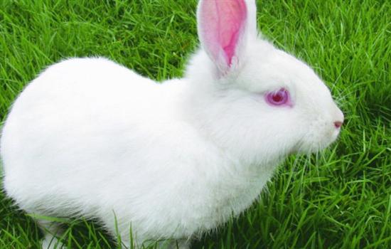 兔子有哪些特点