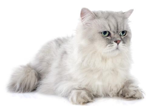 幼猫喉咙一直咕噜咕噜原因