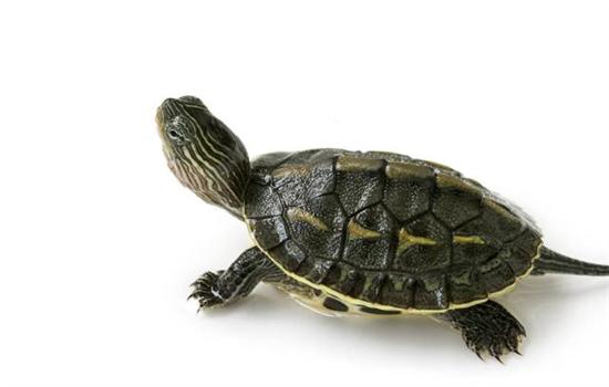 小乌龟吃撑了涨都有哪些表现