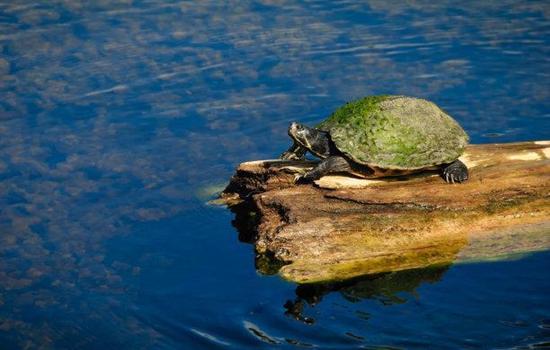 乌龟得肺炎的症状是什么样子