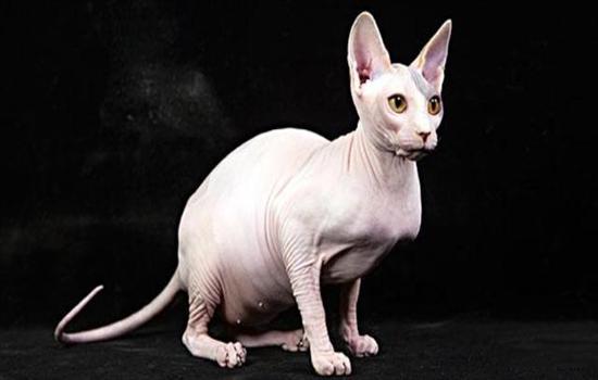 没有毛的猫叫什么名字