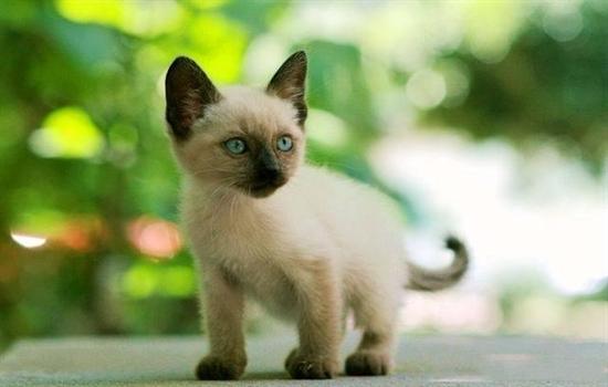 暹罗猫可以变白吗