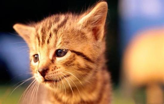 猫吃鸡胸肉怎么做