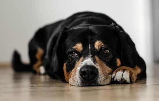 小狗皮癣怎么治疗