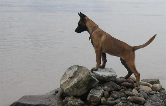 成年马犬怎么训练听话
