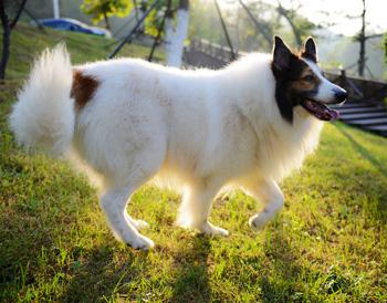 苏格兰牧羊犬
