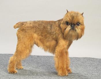 布鲁塞尔格里芬犬